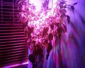 Full Spectrum UFO LED Grow Light - 135W Equivalent - Round Panel Grow Lamp: Customer Photo Of Grow Light On Orange Tree.
